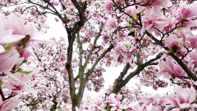 Blooming Magnolia Tree video