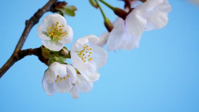 SAKURA blooming moments. (Japanese cherry blossom) SAKURA blooming moments interval shooting.  (Japanese cherry blossom) blossom stock videos & royalty-free footage