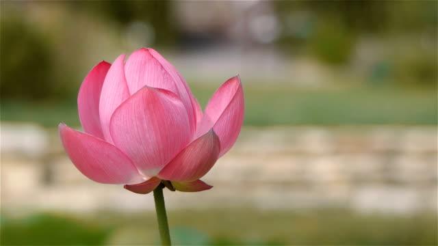 Blooming nelumbo nucifera lotus flower close up stock video more blooming nelumbo nucifera lotus flower close up stock video more clips of beauty 1034177054 istock mightylinksfo