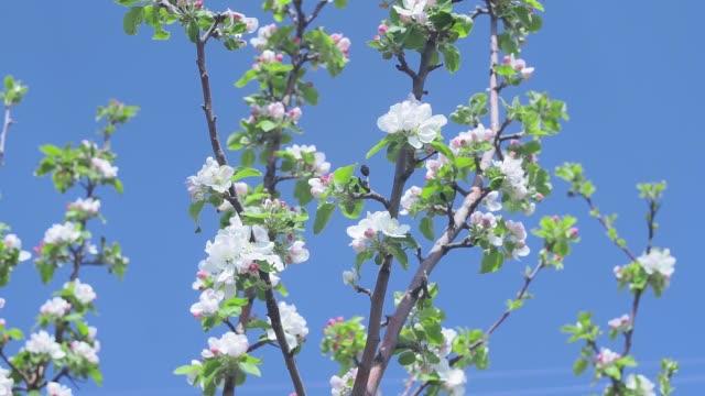 blommande av dekorativa vita äpple och fruktträd över klarblå himmel i färgglada. - äppelblom bildbanksvideor och videomaterial från bakom kulisserna