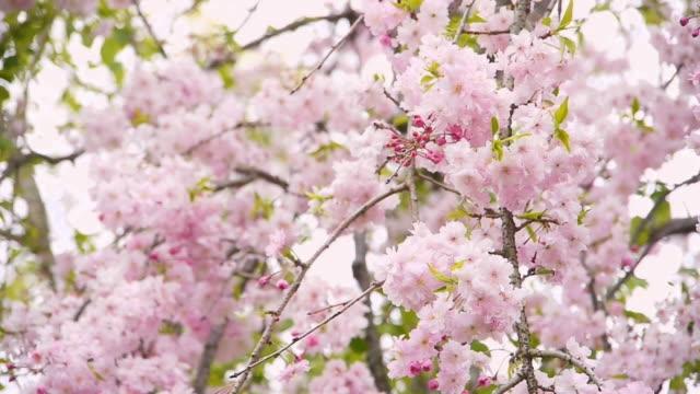 満開のシダレザクラ(Prunus pendula ビデオ