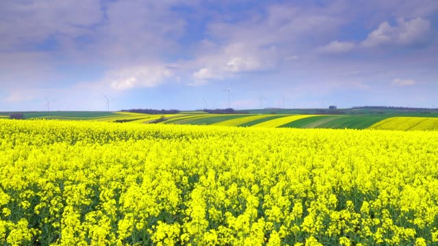 blooming oilseed rape fields on a hill landscape - colza video stock e b–roll