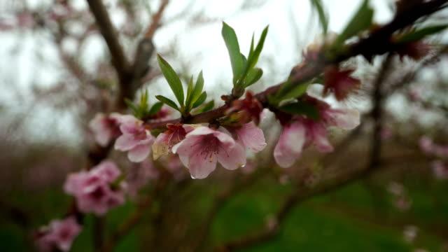 Blooming orchard in spring at Niagara falls area, Ontario, Canada - video