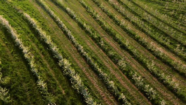 AERIAL Blooming orchard video