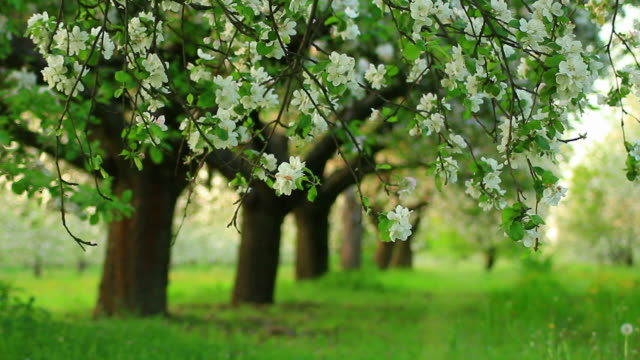 Blooming orchard-HD video