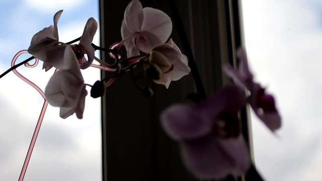 blühende orchidee auf dem fenster. große zarte knospen der weißen orchideen. voll erblühte im studio auf einem grauen hintergrund. soft-fokus auf die knospen - orchidee stock-videos und b-roll-filmmaterial
