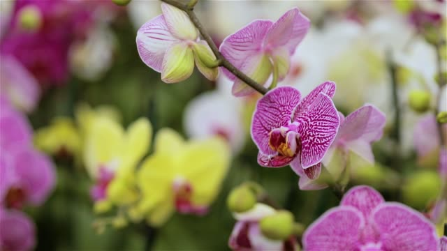 Blooming orchid panorama. Panorama of a blooming orchid. Orchid flower close up, beautiful orchid close up