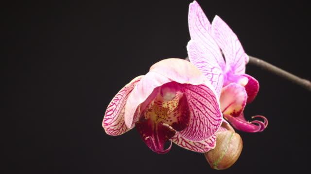 Blooming Orchid Phalaenopsis