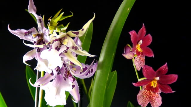 Blooming orchids time lapse video video