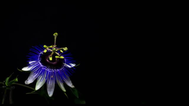fioritura fiori della passione. spazio per testo. 4 k. - video di passiflora video stock e b–roll
