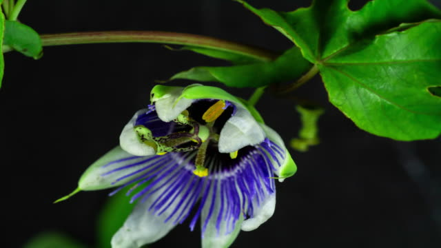 Blooming Passion Flower Time Lapse