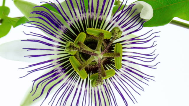 blooming passion flower - passiflora video stock e b–roll