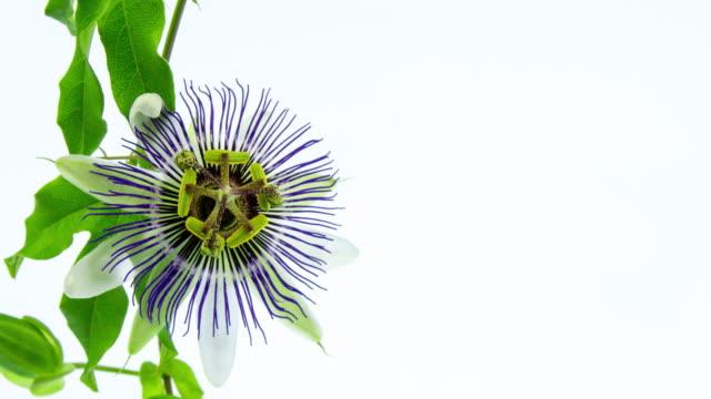 fioriture fiori della passione - video di passiflora video stock e b–roll