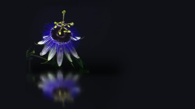 blooming passion flower with mirror water reflection - passiflora video stock e b–roll