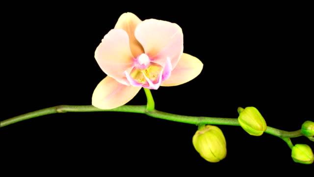Blooming Peach Orchid Phalaenopsis Flower