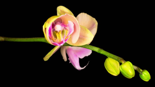 Blooming Peach Orchid Phalaenopsis Flower video