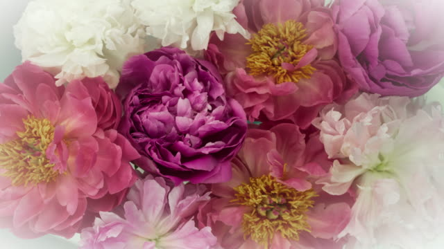 Blooming Peony Flowers. Elegant Vintage Colors. Time Lapse of a Beautiful Collection of Red, Purple, and White Peony Flowers blooming. View from above. Shot in a studio. 4K resolution. bunch stock videos & royalty-free footage