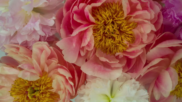 Blooming Peony Flowers. Soft Pastel Colors. Time Lapse of a Beautiful Collection of Red, Purple, and White Peony Flowers blooming. View from above. Shot in a studio. 4K resolution. floral pattern stock videos & royalty-free footage