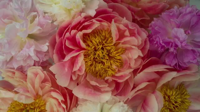 blommande pion blommor. mjuka pastellfärger. - blommönster bildbanksvideor och videomaterial från bakom kulisserna
