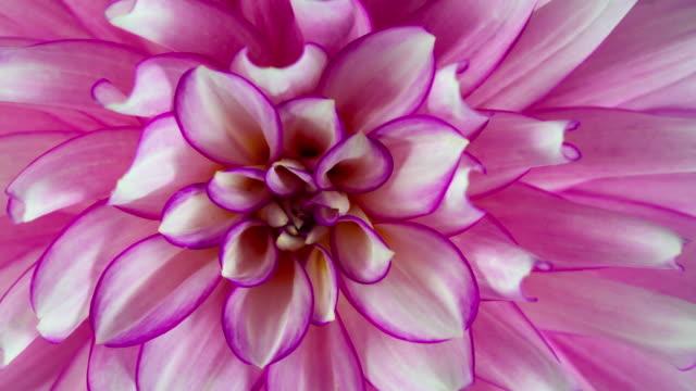 Blooming Pink Dahlia Flower