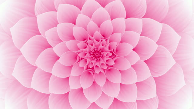 Blooming Pink Flower. Seamless Looped.
