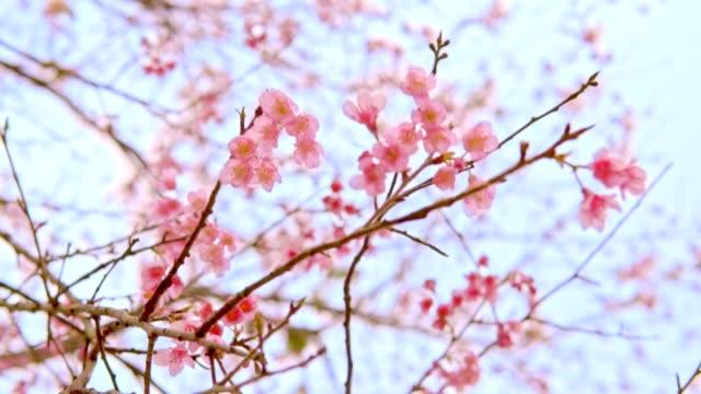 bir süt gazlı bez mavi gökyüzü bulanıklık etkisi ile çiçek pembe japon sakura - gazlı bez stok videoları ve detay görüntü çekimi