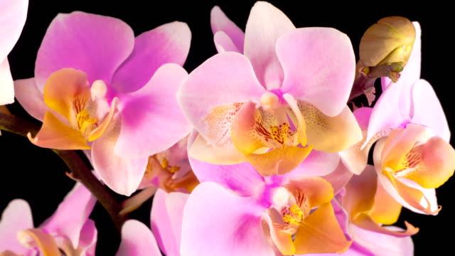 Blooming Pink Orchid Phalaenopsis Flower
