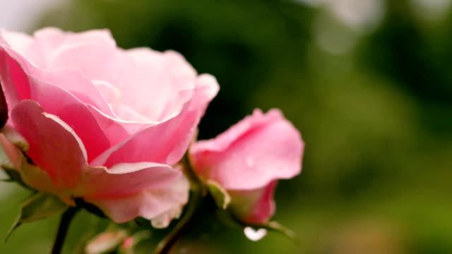 vidéos et rushes de floraison roses roses sur fond vert. - rose