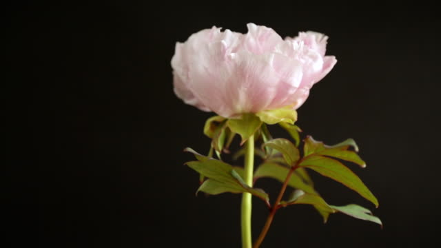blooming pink tree peony flower on black background