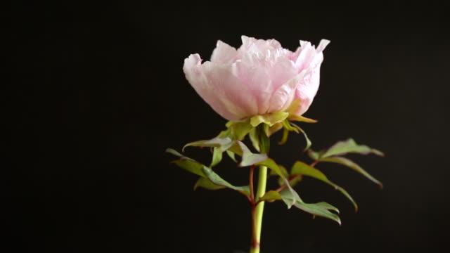 vidéos et rushes de fleur rose de pivoine d'arbre en fleurs sur le fond noir - tige d'une plante
