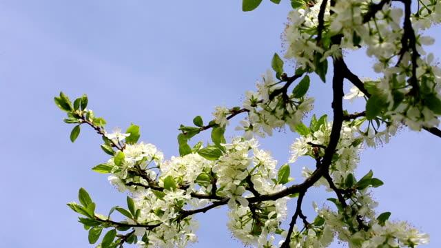 prugna fioritura ramo con fiori di - stame video stock e b–roll