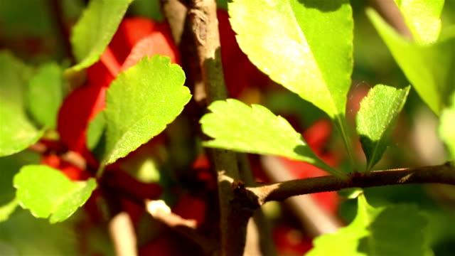 stockvideo's en b-roll-footage met bloeiende kweepeer. cydonia oblonga - plantdeel