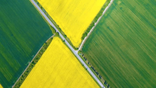 blooming rapeseed field at the sunny day - canola video stock e b–roll