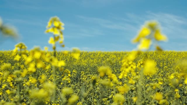 blooming rapeseed field. - colza video stock e b–roll