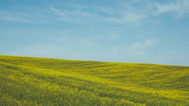 Blooming Rapeseed Field.