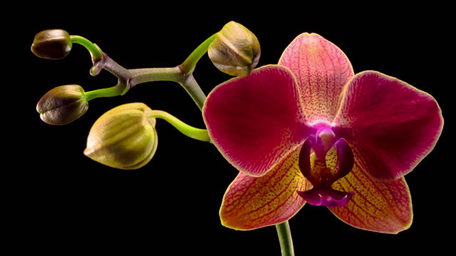 Blooming Red Orchid Phalaenopsis Flower video