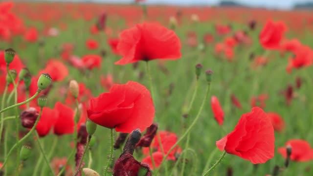 Blooming red poppies in summer field. Bright wildflowers growing in meadow
