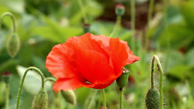 Blooming red poppy video