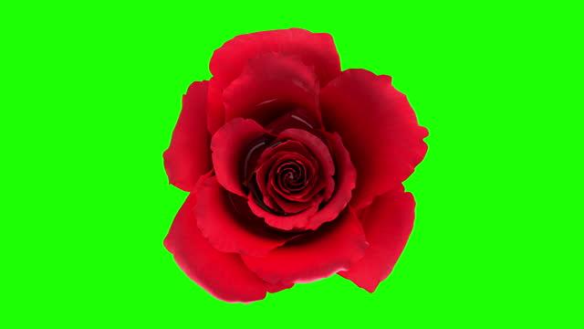 fiore di rosa rossa in fiore con maschera alpha channel separazione in 4k - capolino video stock e b–roll