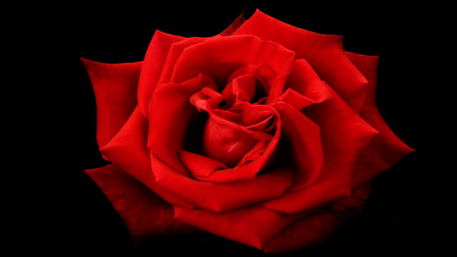 Blooming Red Rose on a Black Background video