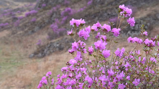 Blooming rhododendron in Siberia in the mountains.