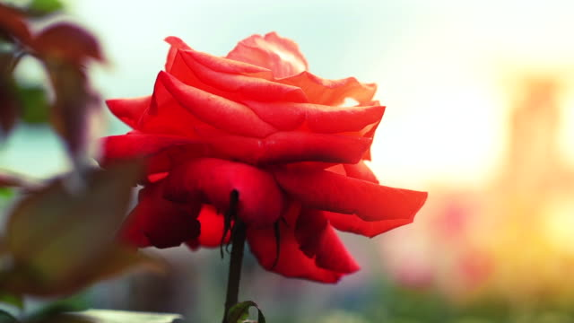 Blooming rose in the garden video