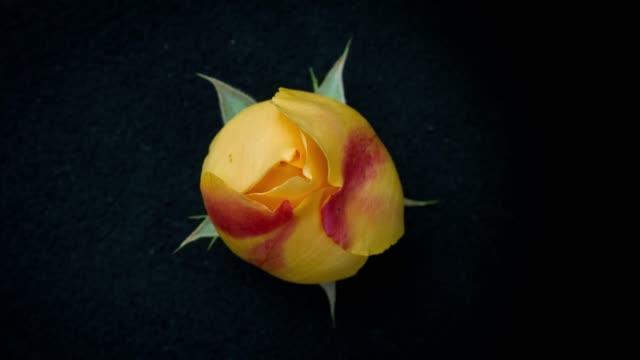 blühende rose timelapse - einzelne blume stock-videos und b-roll-filmmaterial