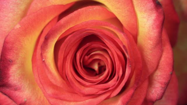 Blooming Rose video