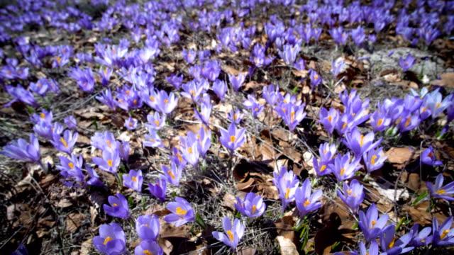 vídeos de stock, filmes e b-roll de flores de açafrão florescendo no prado verde - flor temperada