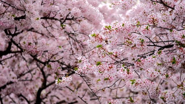 vídeos de stock, filmes e b-roll de flor de cerejeira sakura floresce - cerejeira árvore frutífera