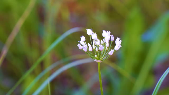 Blooming small white flowers of Wild or Mouse onions