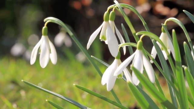 blommande snödroppar - amaryllis bildbanksvideor och videomaterial från bakom kulisserna
