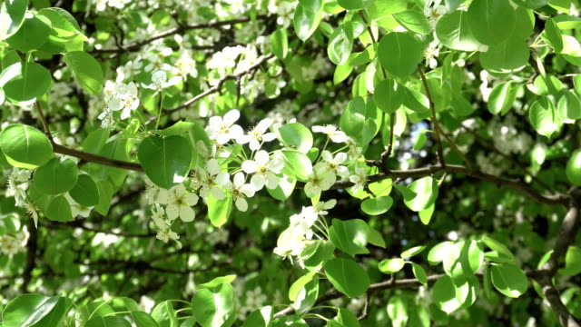 blooming spring Apple tree with white flowers