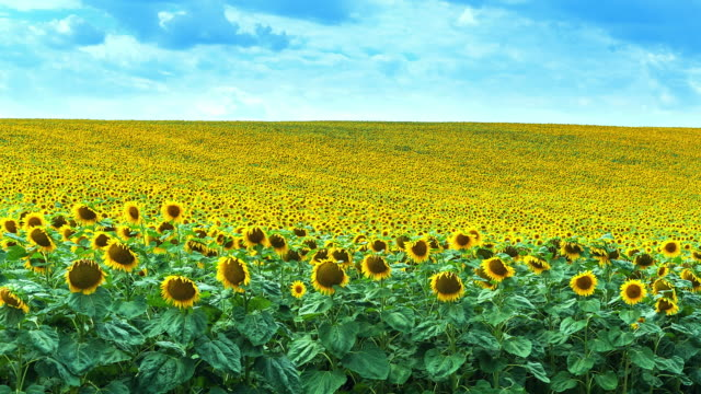 blooming sunflowers on field time lapse (4k resolution) - 2016 video stock e b–roll